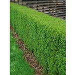 Vintergrön liguster 50-80 cm 3-5 grenar