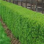 Evergreen Privet 10 pack