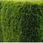 Thuja Emerald 80-100cm